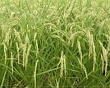 Rice in mid August_160.jpg(24293 byte)